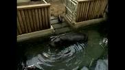 Хипопотам джудже