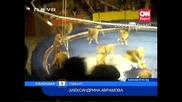 Ужас! Два разярени лъва нападат човек!