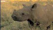 Дейвид Атънбъро успокоява сляп носорог!