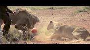 Всичко бях виждал, ама да играеш футбол с три диви лъва си е прекалено. Какво мислите а?