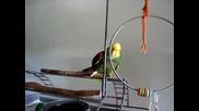Папагал имитира бебешки плач