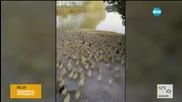 Стотици патета виждат за първи път езеро (ВИДЕО)