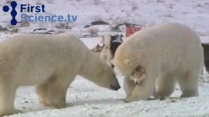 Полярни мечки си играят с кучета