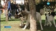 Избраха най-красивите каракачански кучета