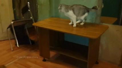 Енот срещу котка