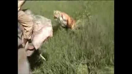 Тигър Напада Човек