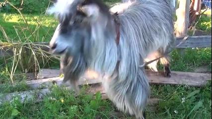 Танцуваща коза
