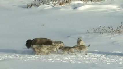 Бизон помага на вълци!