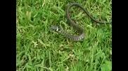 Жълтоуха Водна Змия!