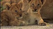 Приключенията на малките лъвчета...