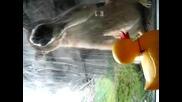 Лъв иска да изяде гумено пате