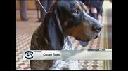 2500 породисти кучета ще се състезават на Годишното киноложко изложение в Уестминстър