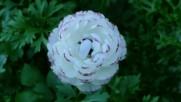 Loving Ranunculus Flowers - Ernesto Cortazar - Concierto De Aranjuez