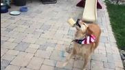 Това куче се справя много зле с Хващането на храната си !