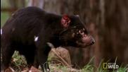 Тасманийски дяволи - Битка за Храна