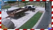 Ето така се краде крава в Русия - Смях