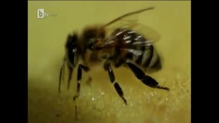 Насекомото без което светът ще загине... Филм за пчелите