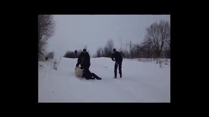 Палаво прасе подлуди полицаи в Полша