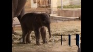 Показаха новородено слонче в зоопарка в Берлин