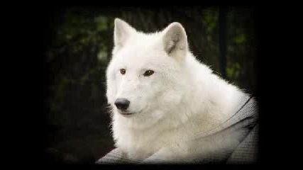 Bate Pesho feat. Tina - Wolf Pozdaw Za nevidimiq2733 !