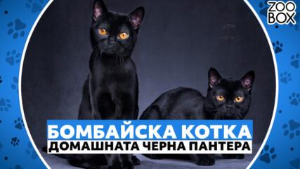 Черната пантера при домашните любимци - Бомбайска котка