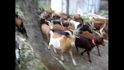 Стадо кози с бордър коли