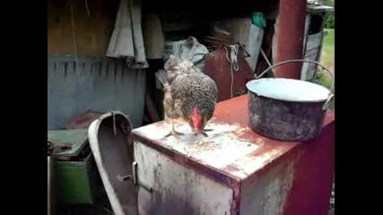 кротка кокошка