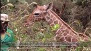 Хора от приюта в Найроби спасяват бебе жираф на една седмица изоставен от майка си