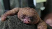 малък сладък ленивец се прозява