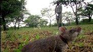 Плъхове надушват мини и спасяват животи