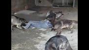 Симулация за нападение на глутница вълци!