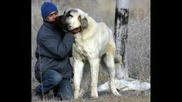 Kangal Vs English Mastiff