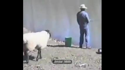 Овца бута рибар във водата - смях