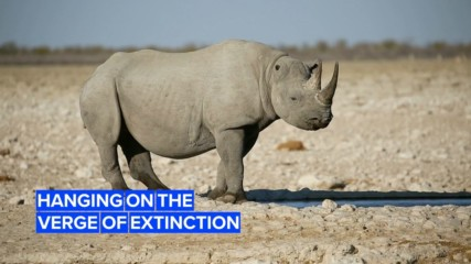 Black rhinos in Botswana could go extinct by 2021