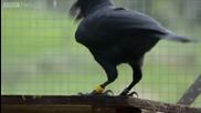Най - умната врана в света ! Решава сложен логически пъзел за секунди !