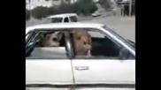 2 камили в кола - Death Metal !