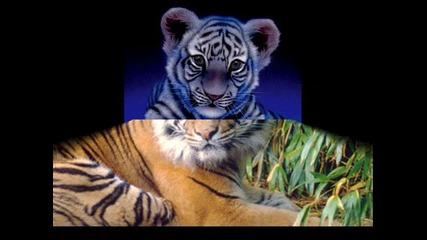 Красиви но опасни! + Eye of the tiger