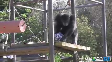 шимпанзе откача