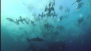 Гладни хищни птици, акули и китове атакуват риба в океана