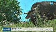 КРАВАТА-БЕГЛЕЦ: Решават до дни какво да правят с животното, избягало в Сърбия