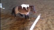 Куче Язди Пони