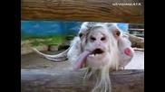 Смях - Откачена Коза Се Оплаква На Стопанката Си!