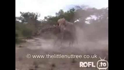 Бой Между Жирафи