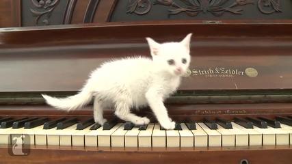 Сладко коте свири на пиано...