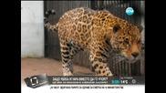 Защо убиха ягуара вместо да го упоят - Здравей, България (05.08.2014г.)