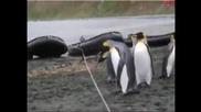Пингвини прескачат въже , мисия почти невъзможна