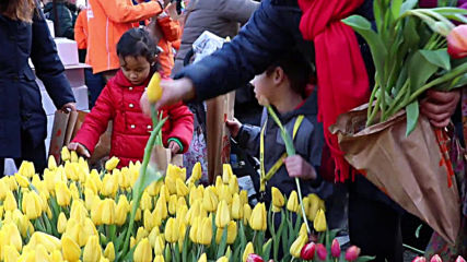 200,000 tulips up for grabs at Amsterdam's Dam Square as thousands mark National Tulip Day