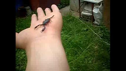 Опасна игра със истински скорпион