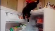 Котка се снабдява с риба от фризера