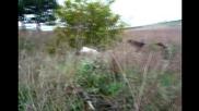 Пойнтер, Курцхар и Дратхаар - стойка и отстрел на фазан